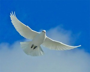 white_dove_of_peace_m-300x240